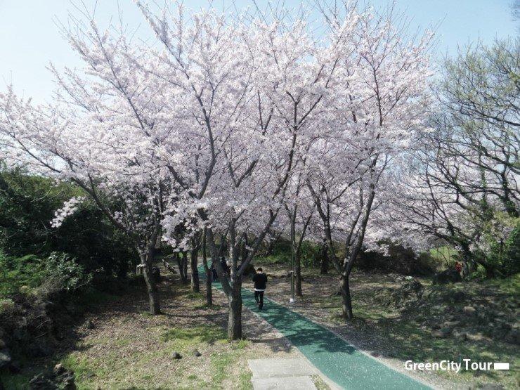 제주도 벚꽃